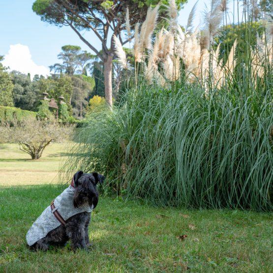 cappottino per cani impermeabile per cani indossato da cane Schnauzer in un giardino