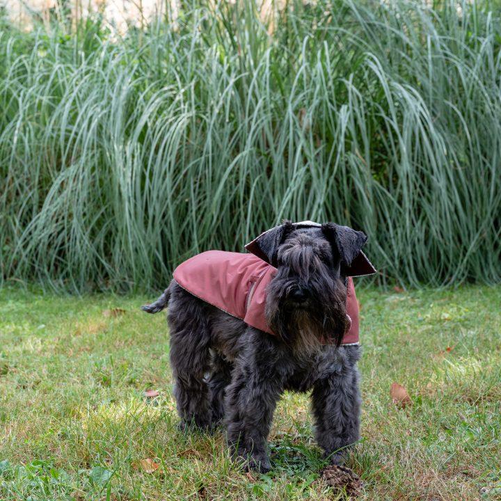 impermeabile per cani cappottino per cani rosso vino indossato da cane Schanuzer in un giardino