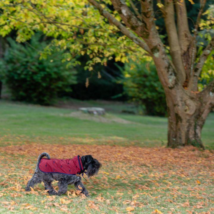 impermeabile per cani di lusso red currant in giardino indossato da cane schnauzer