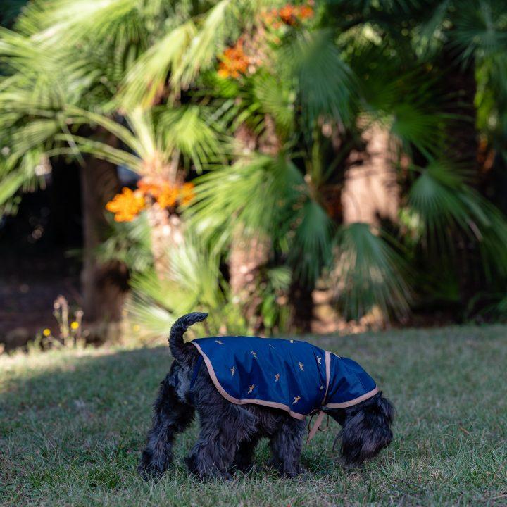 impermeabile per cani blu navy con cappuccio indossato in esterno da cane Schnauzer